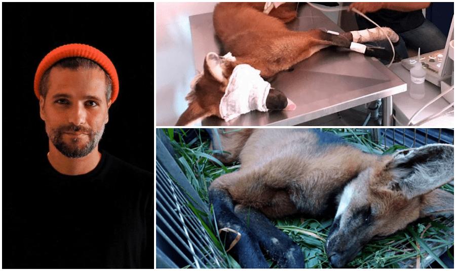 Bruno Gagliasso vira padrinho de fêmea de lobo-guará resgatada em Aperibé