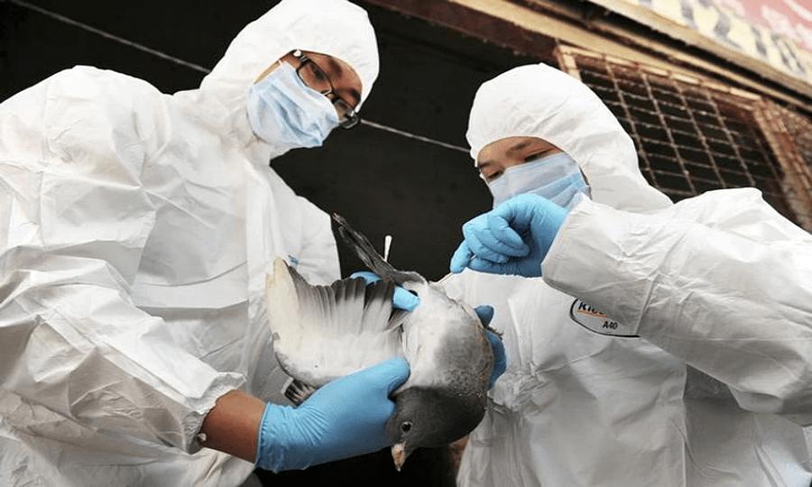 Variação de gripe aviária tem potencial para se tornar nova pandemia, dizem cientistas