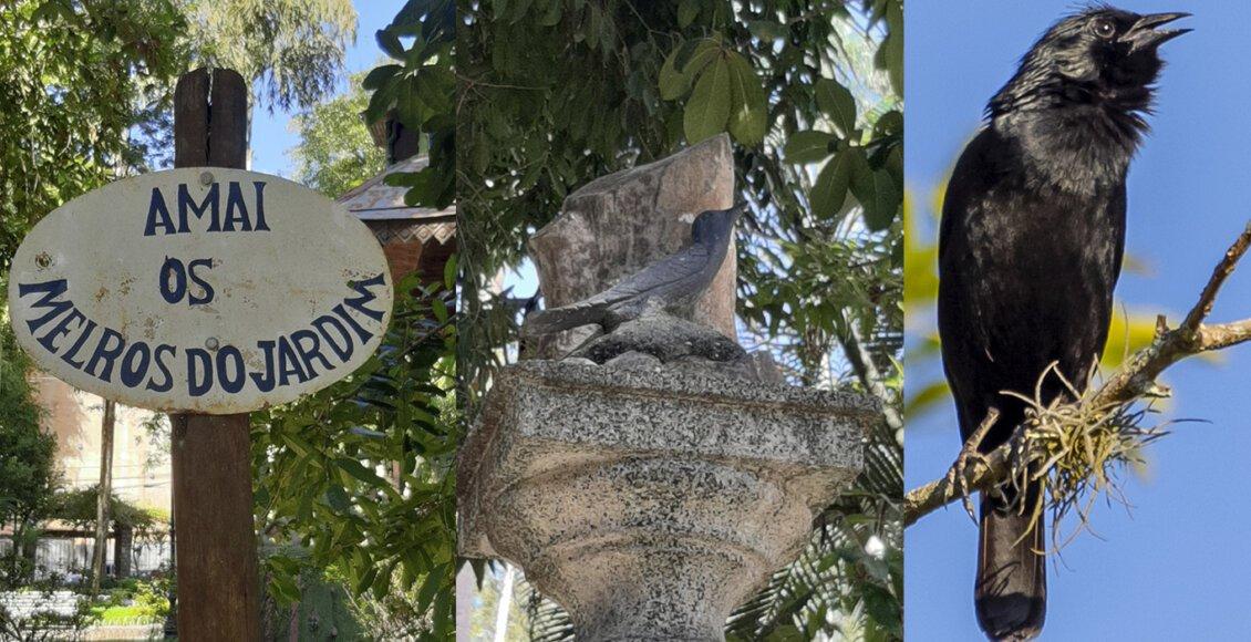 Melro, o pássaro símbolo do charmoso Jardim de Cantagalo