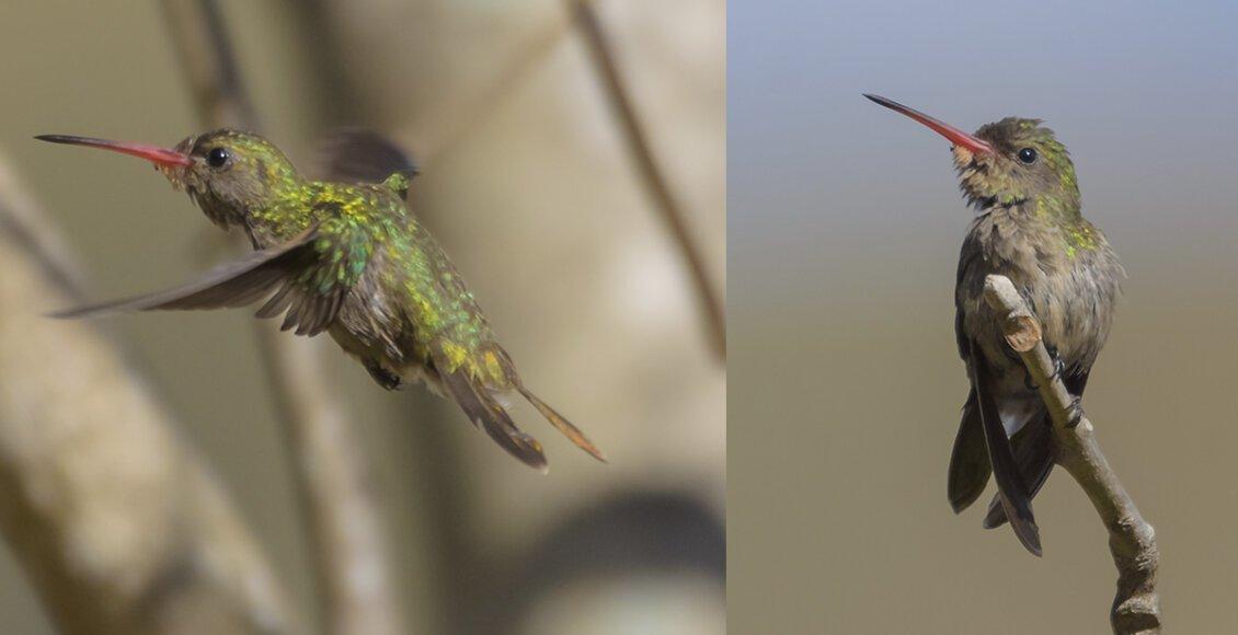 Beija-flor-dourado fotografado em Cordeiro é o primeiro registro no RJ
