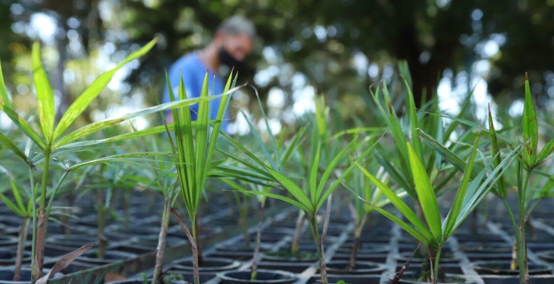 Projeto tenta salvar palmeira juçara da extinção na Região Serrana do Rio
